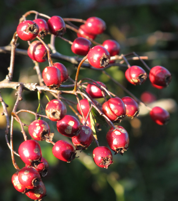 Semi-relevant photos: They're not holly berries, but they're red. And whatever they are, they're around in the winter.